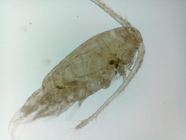 Calenoida copepod - microscope image