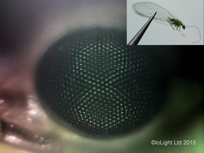 Lacewing eye microscope image