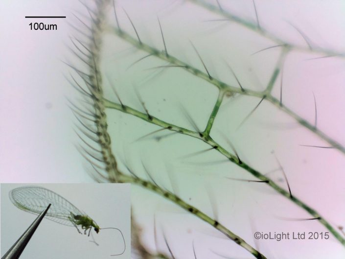 Lacewing wing - field microscope image
