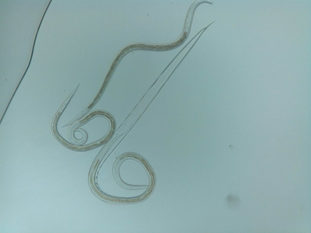 Sheep nematode worm shedding its sheath. Taken with the ioLight field microscope